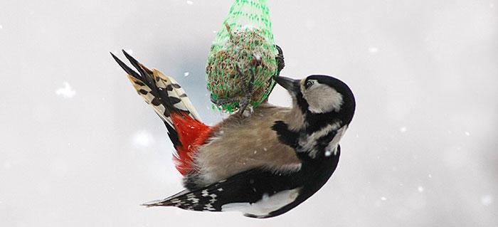 Vogelfütterung im Winter, hier der Buntspecht