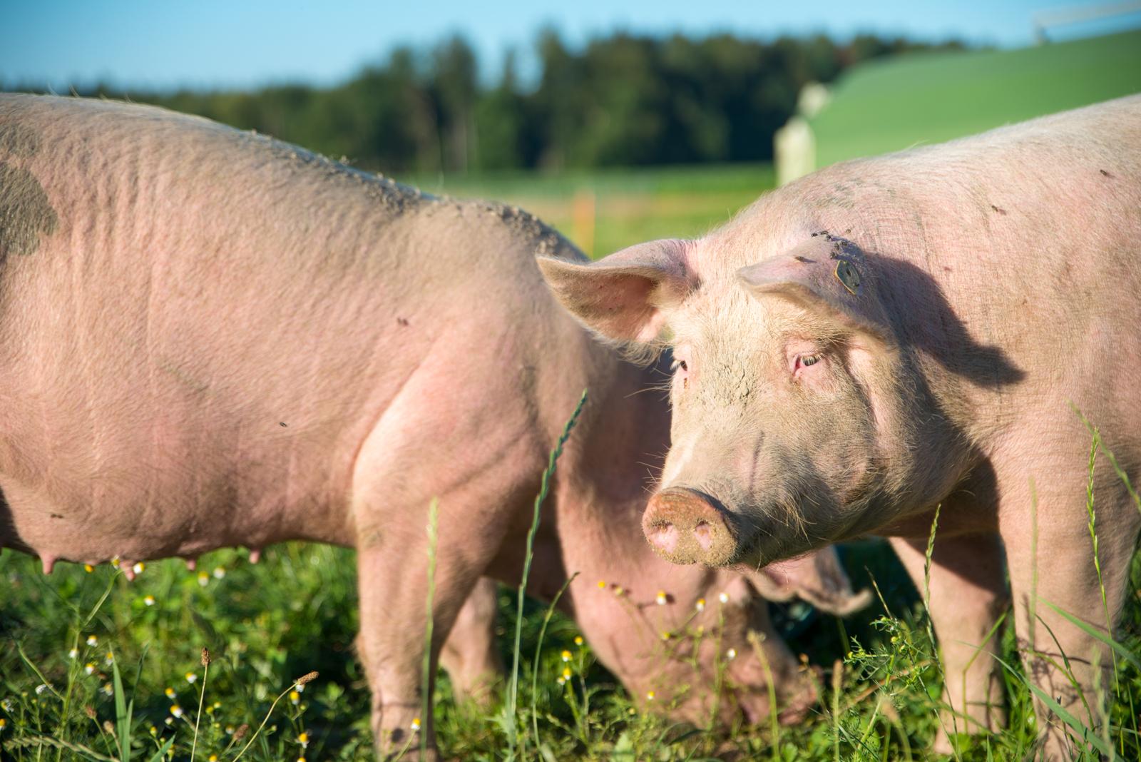 Tierarztpraxis Nutztiere Bern Kühe Rinder Schweine